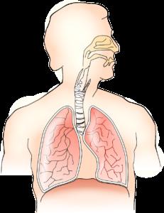 Atmungsorgan des Menschen, (Bild von OpenClipart-Vectors auf pixabay.com)